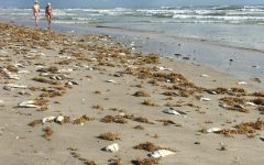 Marine Life-Killing Red Tide Becomes a Political Issue
