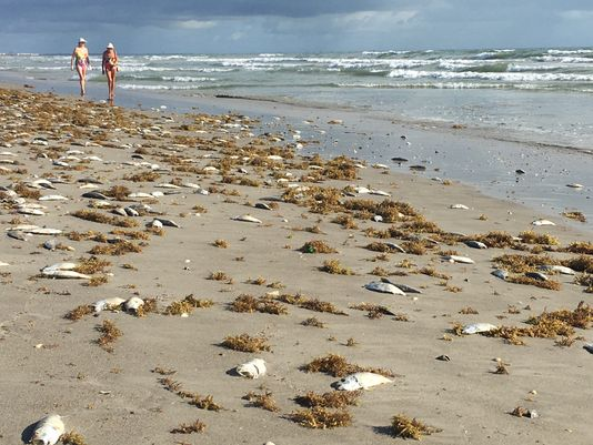 Fish killed by red tide litter the beaches of Sarasota, Florida.