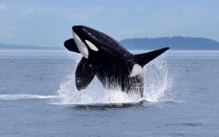 Pacific Northwest Orcas in Danger of Extinction