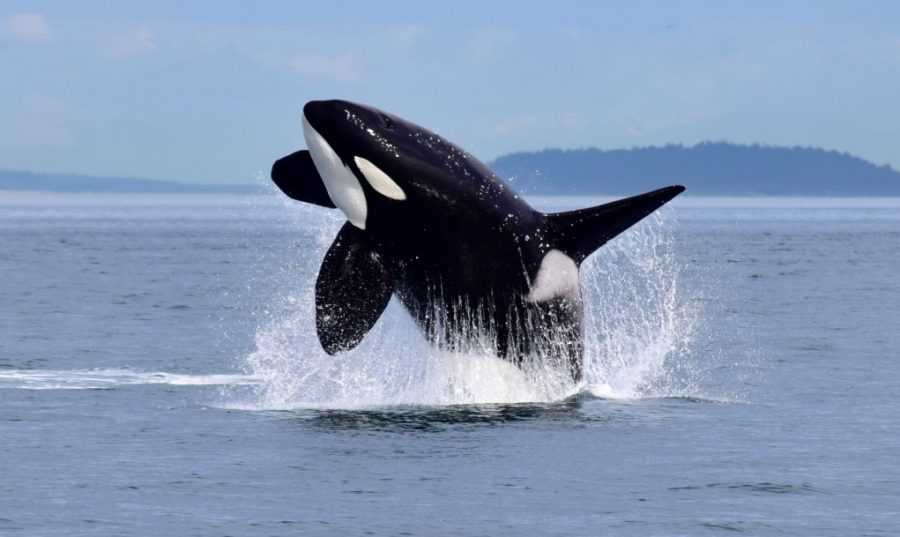 Several+factors+are+contributing+to+the+dwindling+numbers+of+orcas+in+the+Pacific+Northwest.