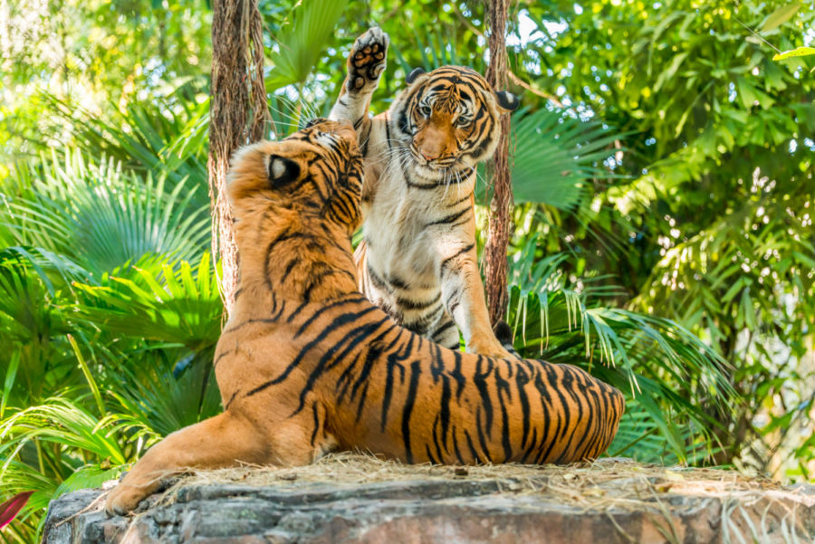 Palm Beach County residents are returning to the Palm Beach Zoo, featuring its popular tigers, and Lion Country Safari.